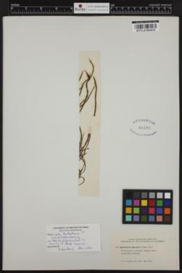 Acrochaetium barbadense image