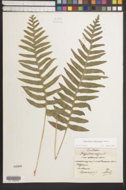 Image of Polypodium interjectum