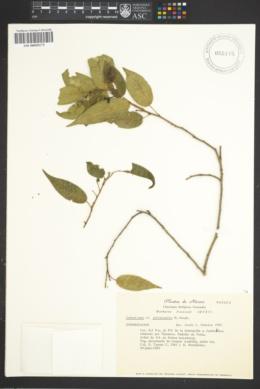 Image of Sebastiania jaliscensis