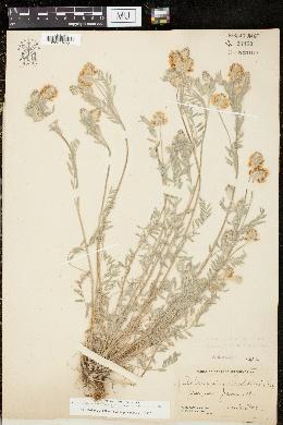 Image of Astragalus spaldingii