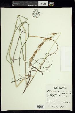 Image of Tristachya avenacea