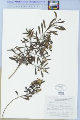 Image of Baccharis heterophylla