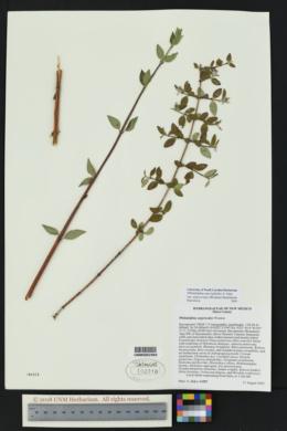 Philadelphus microphyllus image