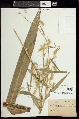 Image of Pennisetum tristachyum