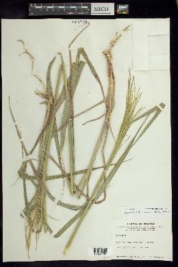 Arundinella berteroniana image