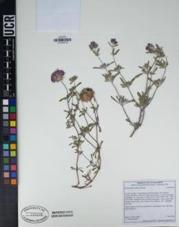 Monardella undulata image