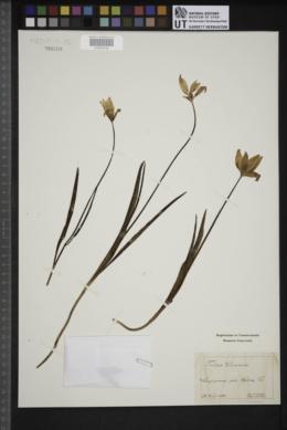 Tulipa clusiana image