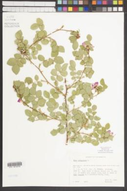 Rosa rubiginosa image