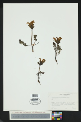 Pedicularis ornithorhyncha image