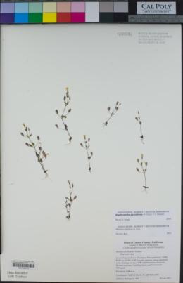 Erythranthe pulsiferae image
