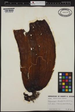 Dictyoneurum reticulatum image