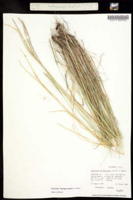 Image of Elymus x pseudorepens