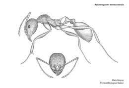 Aphaenogaster tennesseensis image