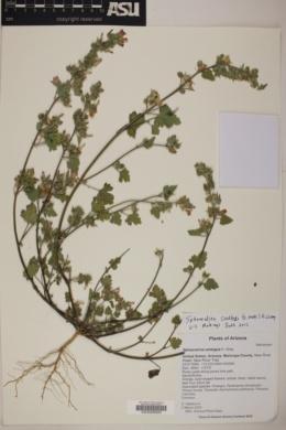 Sphaeralcea coulteri image