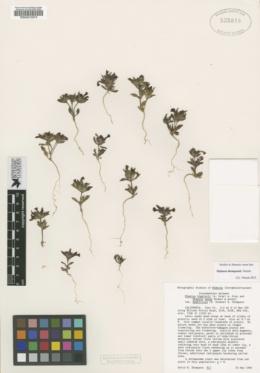 Image of Diplacus thompsonii