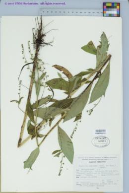 Image of Hackelia mexicana