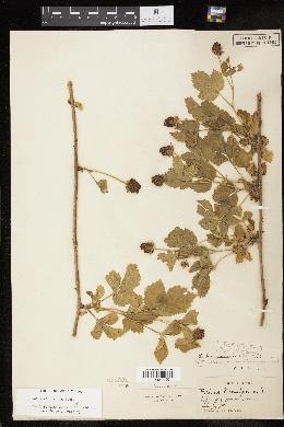 Image of Rubus aboriginum