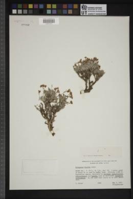 Eriogonum bicolor image