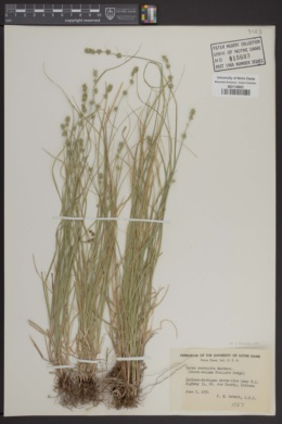 Image of Carex convoluta