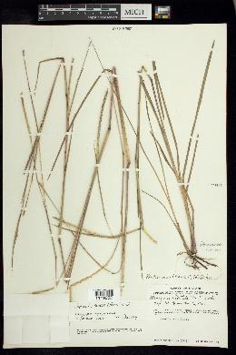 Image of Coelorachis ramosa