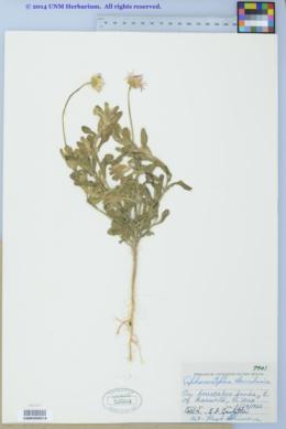 Aphanostephus skirrhobasis image