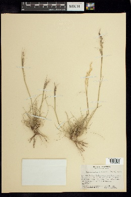 Image of Piptochaetium bicolor