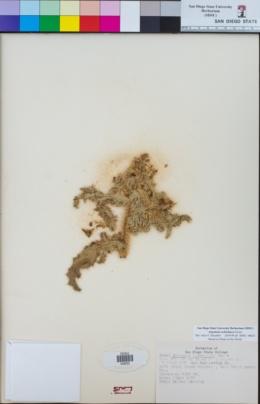 Argemone ochroleuca image