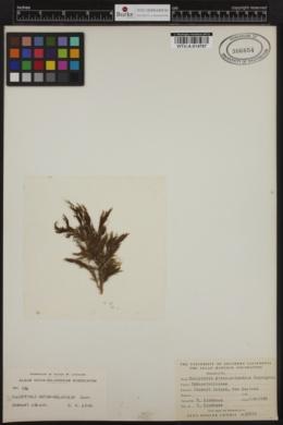 Halopteris novae-zelandiae image