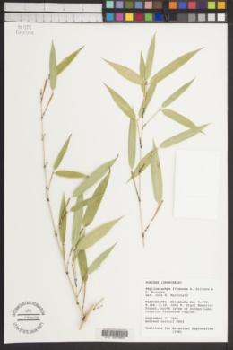 Image of Phyllostachys flexuosa