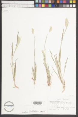 Phalaris caroliniana image