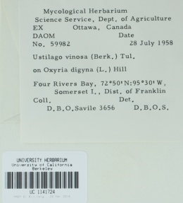 Microbotryum vinosum image