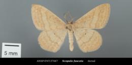 Image of Scopula fuscata