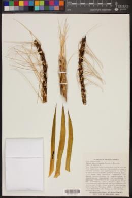 Agave dasylirioides image
