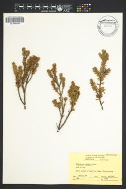 Image of Podocarpus nivalis