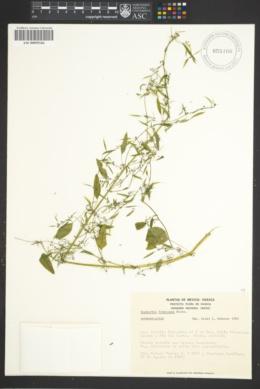 Image of Euphorbia francoana