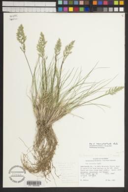 Image of Poa x nematophylla