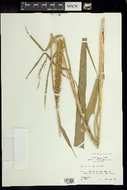 Cenchrus purpureus image