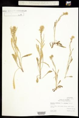 Erigeron glabellus subsp. pubescens image