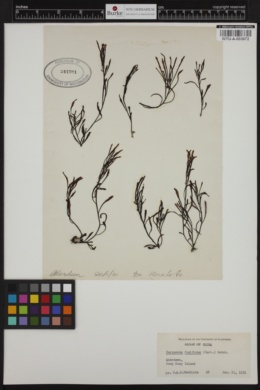 Sargassum fusiforme image