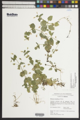 Erythranthe calciphila image
