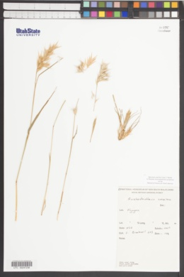 Austrodanthonia caespitosa image