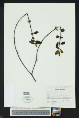 Phoradendron brachystachyum image