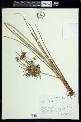 Image of Cyperus lundellii