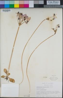 Dodecatheon clevelandii image