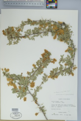 Acacia greggii var. greggii image