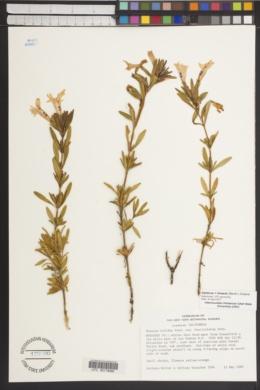 Diplacus × linearis image