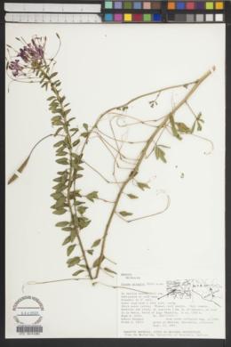 Cleome chapalaensis image