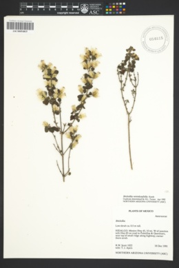Image of Brickellia veronicaefolia
