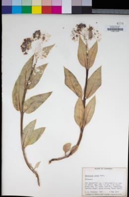 Asclepias erosa image