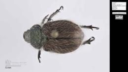 Image of Paracotalpa granicollis